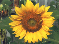 21st ANNUAL STATHAM SUNFLOWER FESTIVAL 5K WITH RUN AT HOME OPTION - Statham, GA - 90bd74f0-8fc6-44b4-af33-8d1307a547b4.jpg