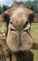 Bahia Shrine 5K Camel Walk/Run - Apopka, FL - race115250-logo.bHbw1p.png